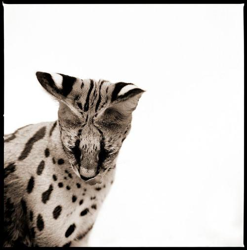 Serval-II