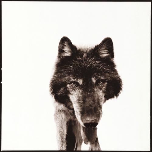 Wolf-III