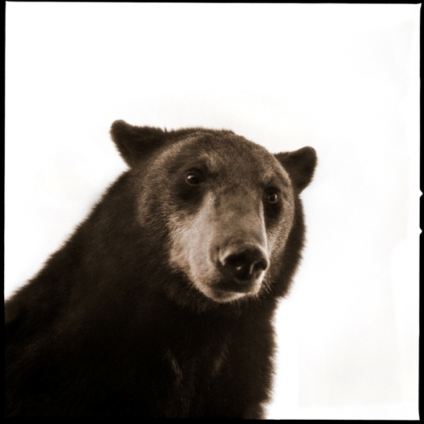 Black Bear-II