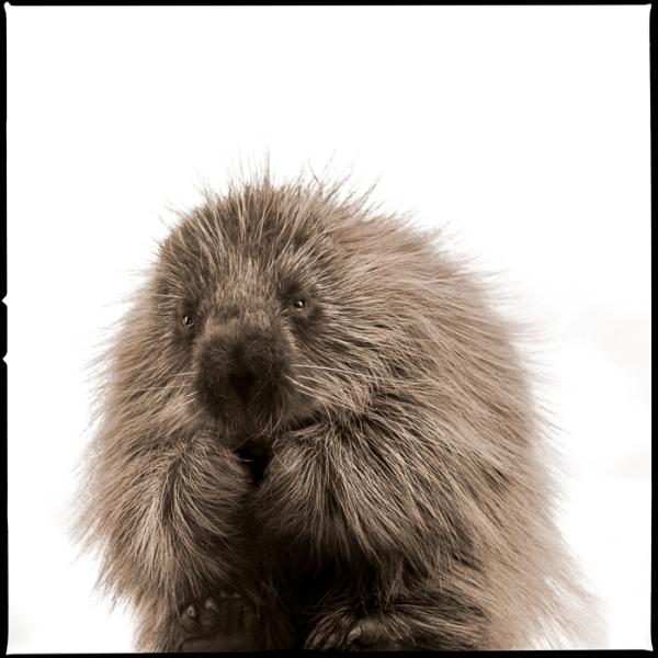Porcupine-I