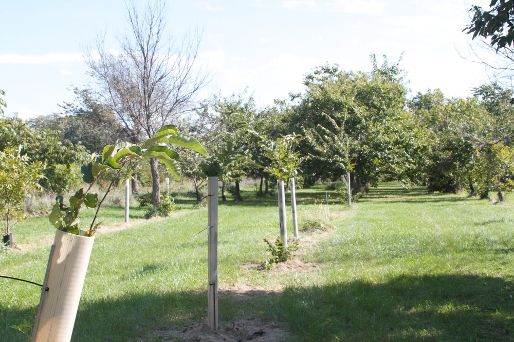 Chestnuts at wide spacing with 5-ft tree guards
