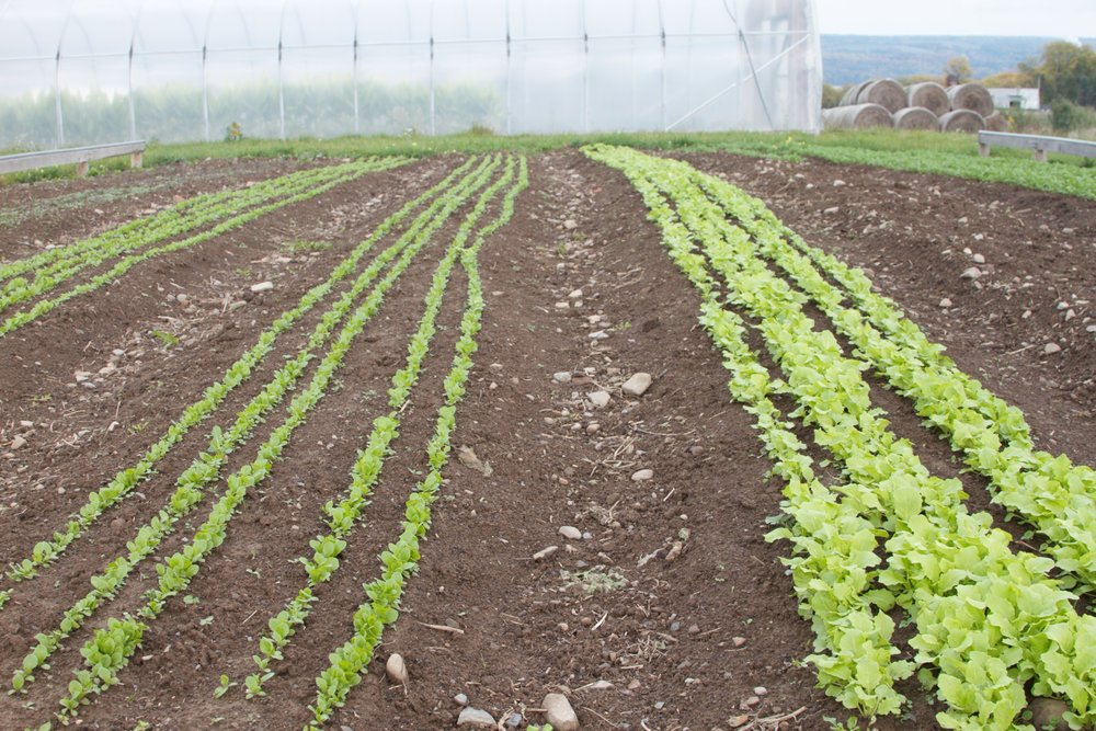 Salad greens, weed-free in chocolate-cake soil