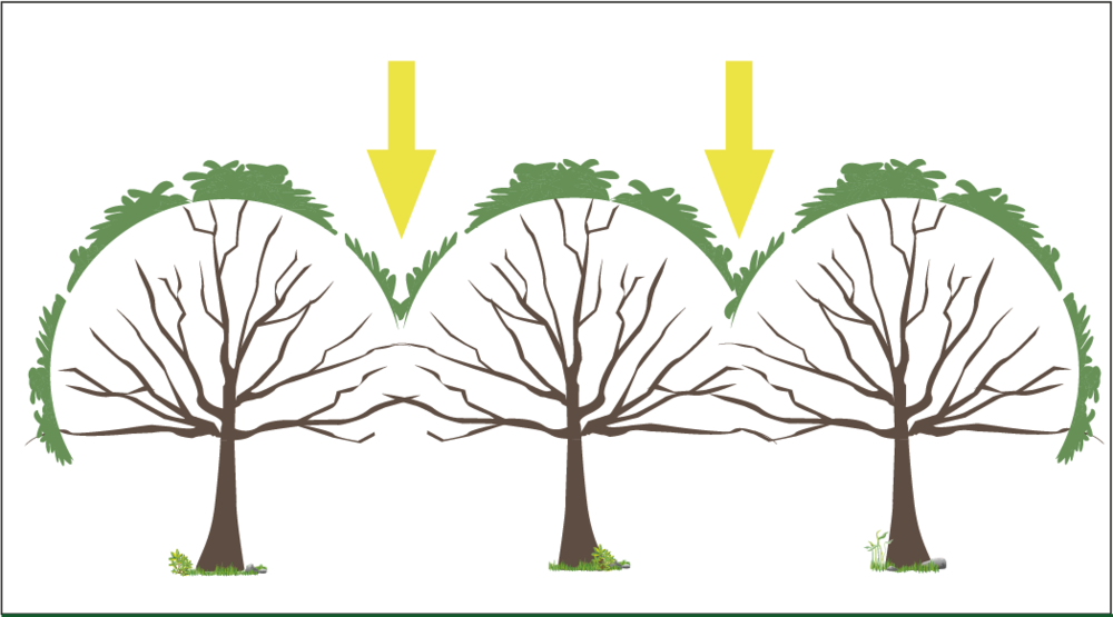 When trees are not pruned, but planted close together, they compete for light, and crowd each other out. The wood on the bottom branches of these trees will not produce nuts.  Source