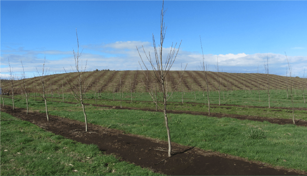 Rows of chestnut trees in Chile, intercropped with pasture. Source.