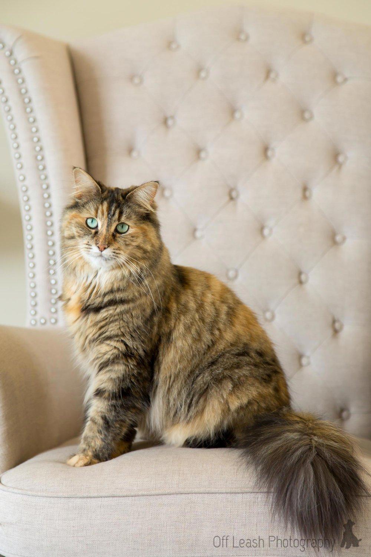PurrCentral cats piper.jpg