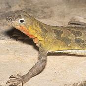 Spot Tailed Earless Lizard