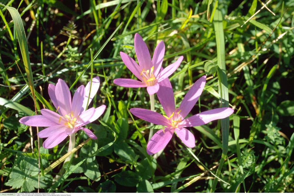 Colchicum autumnale - Autumn Crocus, Meadow Saffron