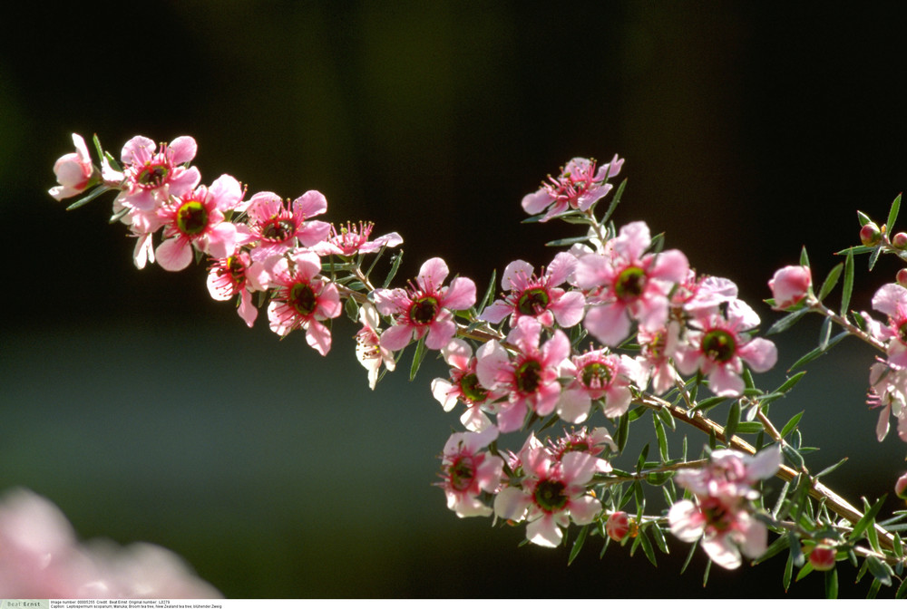 Leptospermum scoparium - Broom tea tree, New Zealand tea tree