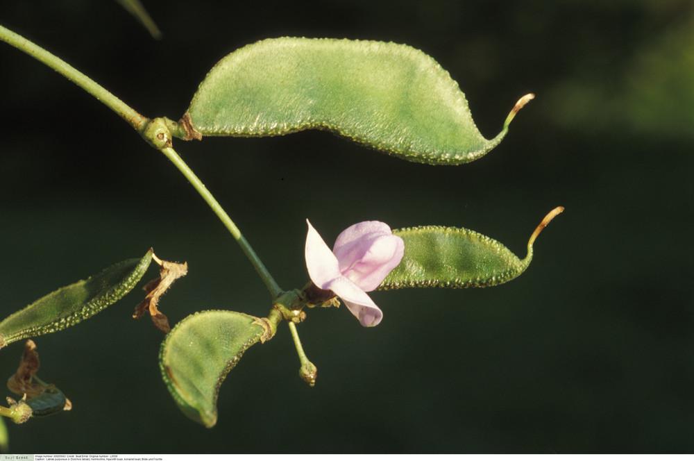 Lablab purpureus (= Dolichos lablab) - Hyacinth bean, bonavist bean