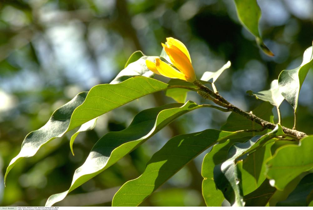 Michelia champaca - Champaca