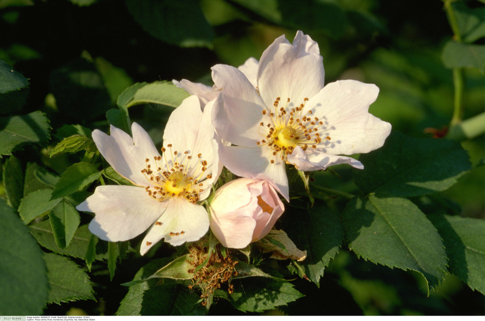 Rosa canina - Dog Rose, Hip, Sweet Briar