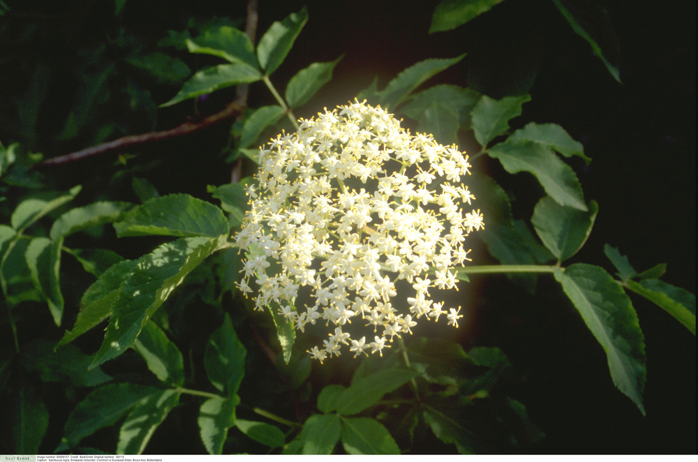 Sambucus nigra - Common or European Elder, Boure tree