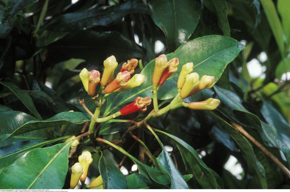 Syzygium aromaticum (= Caryophyllus aromaticum) - Clove tree
