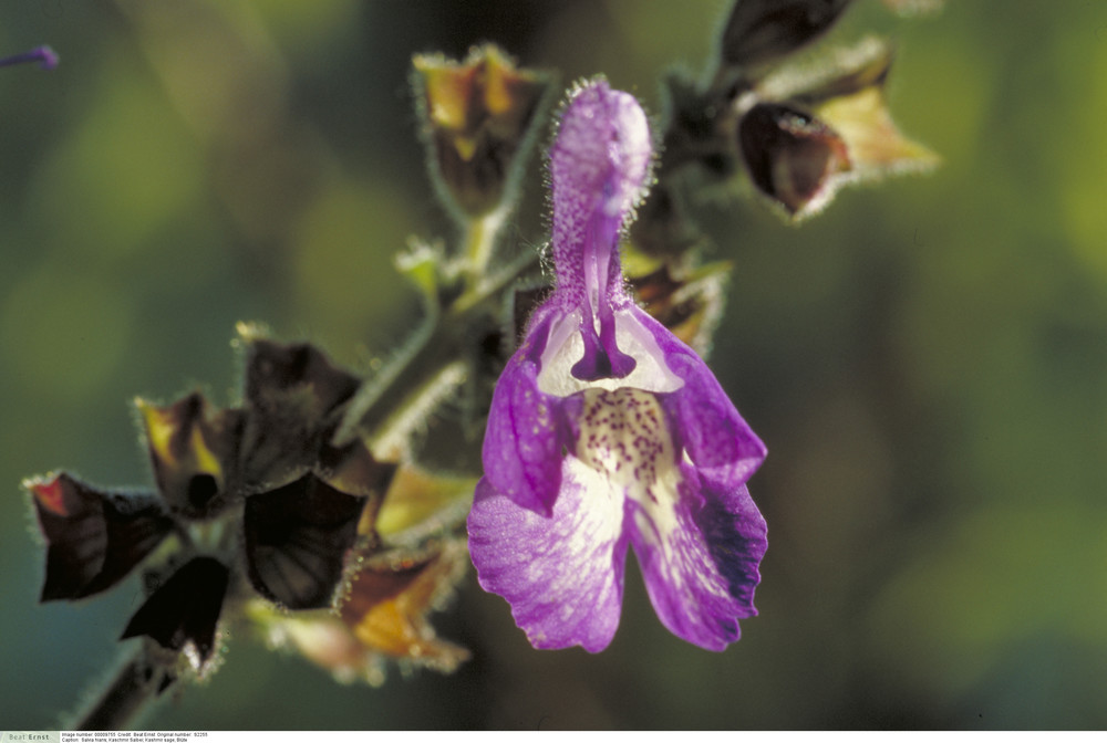 Salvia hians - Kashmir sage
