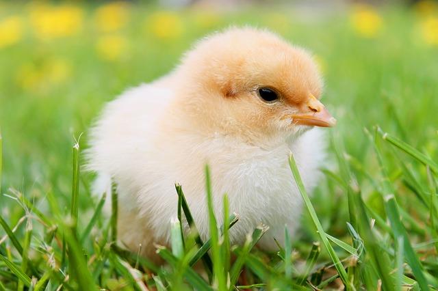 chicks-349035_640.jpg