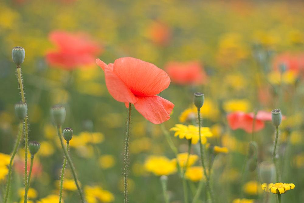 poppy-flower-bold