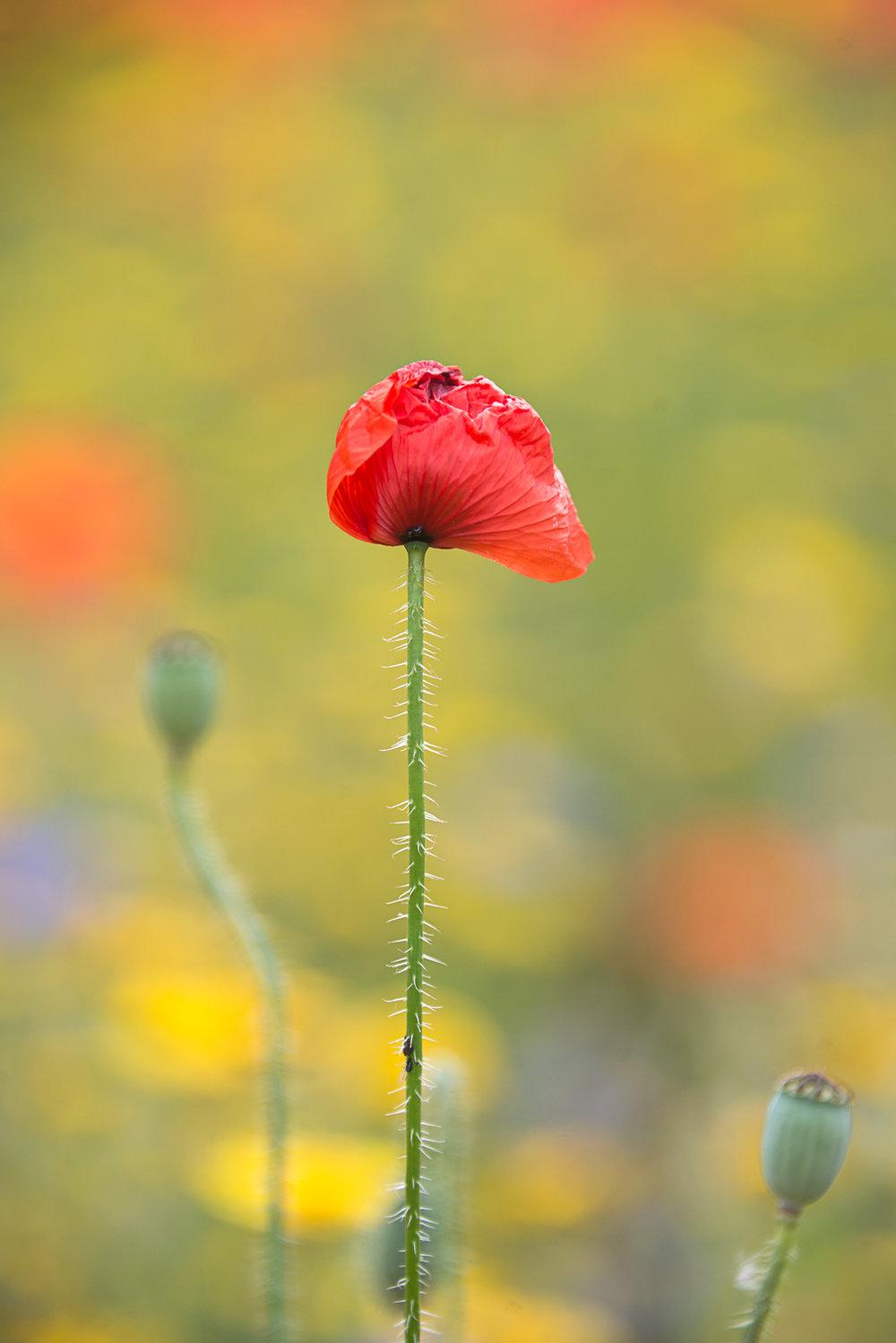single-poppy
