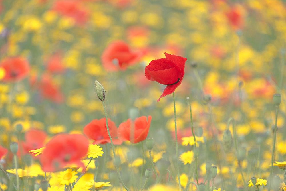 poppy-field-single