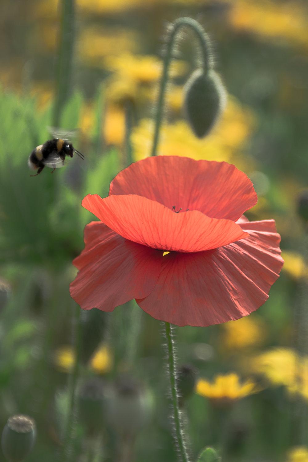 bea-poppy