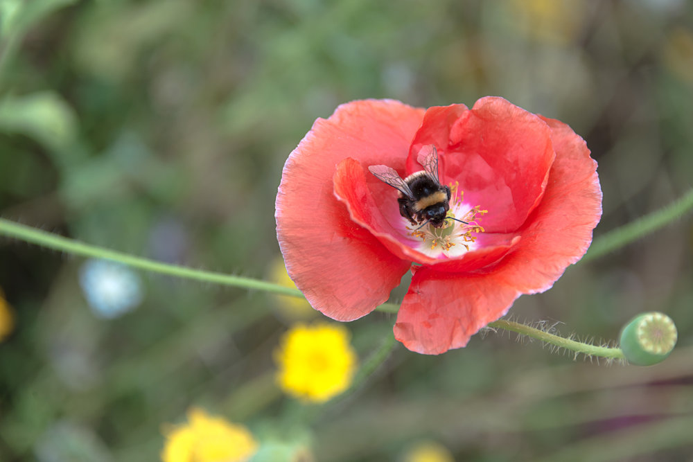 bea-on-flower
