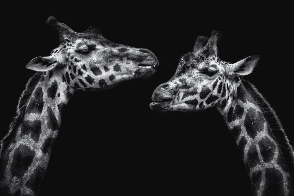 Giraffes Flickr.jpg