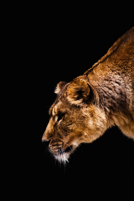 Lioness colour].jpg