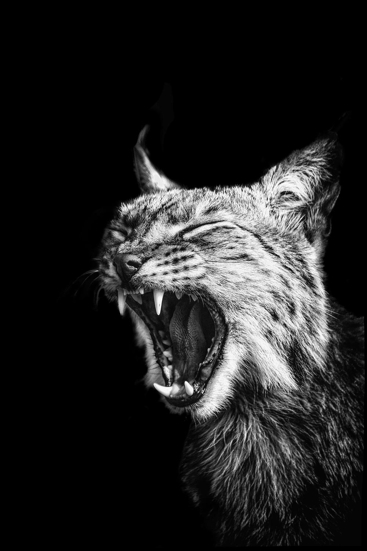 Lynx flickr roaring.jpg