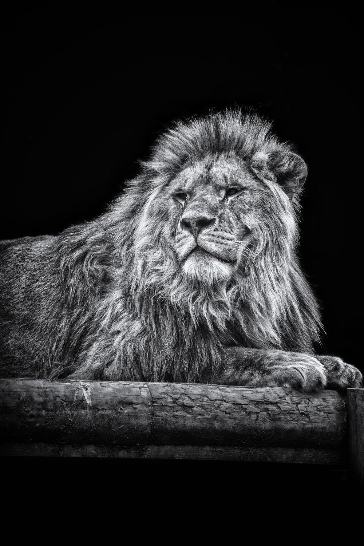 Proud Lion.jpg