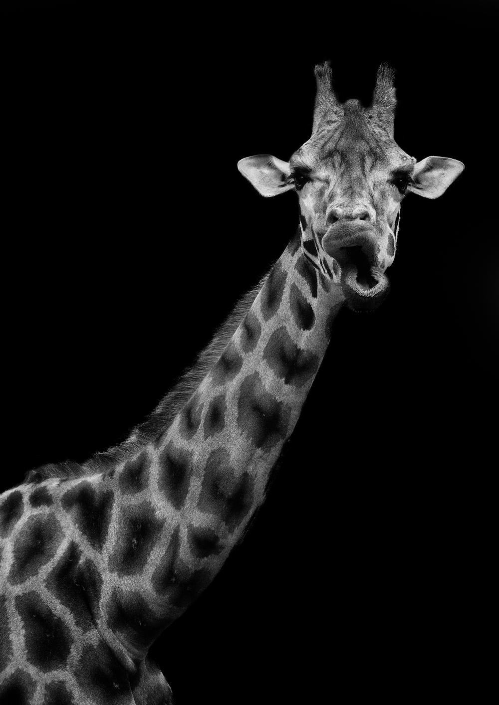 Giraffe for website_.jpg