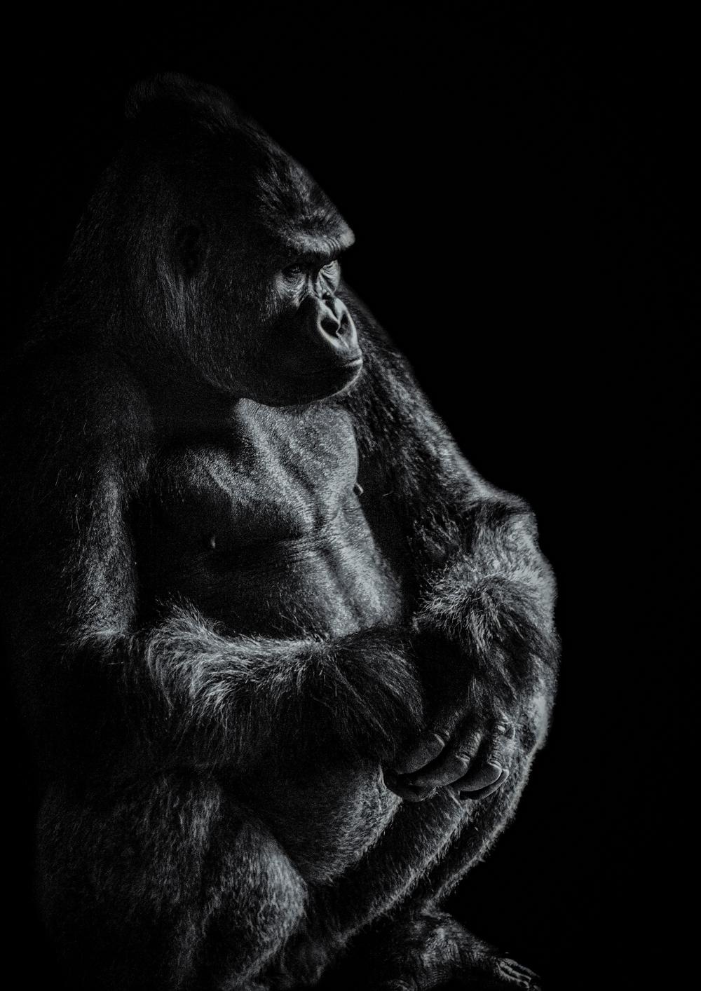 Gorilla sitting final website.jpg