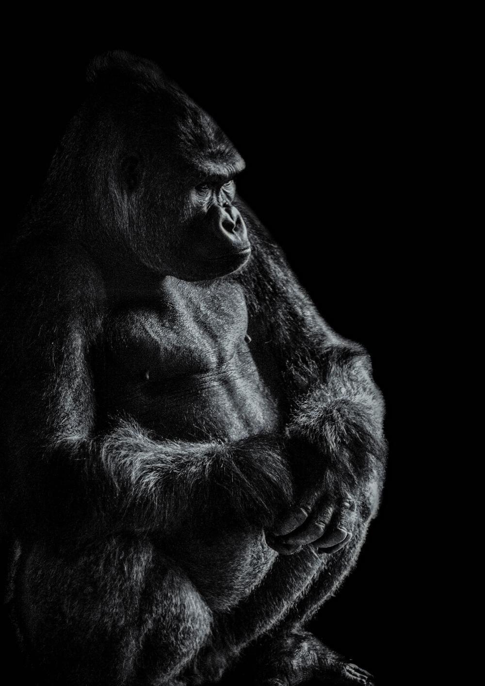 Gorilla sitting final Flickr.jpg