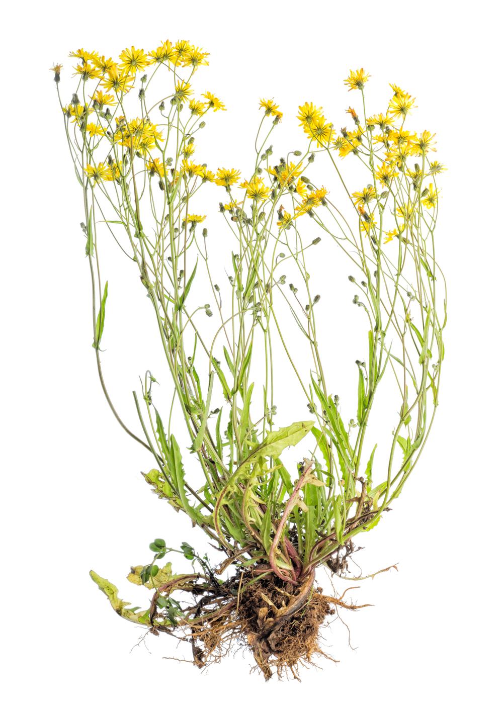 Yellow daisy weed.jpg
