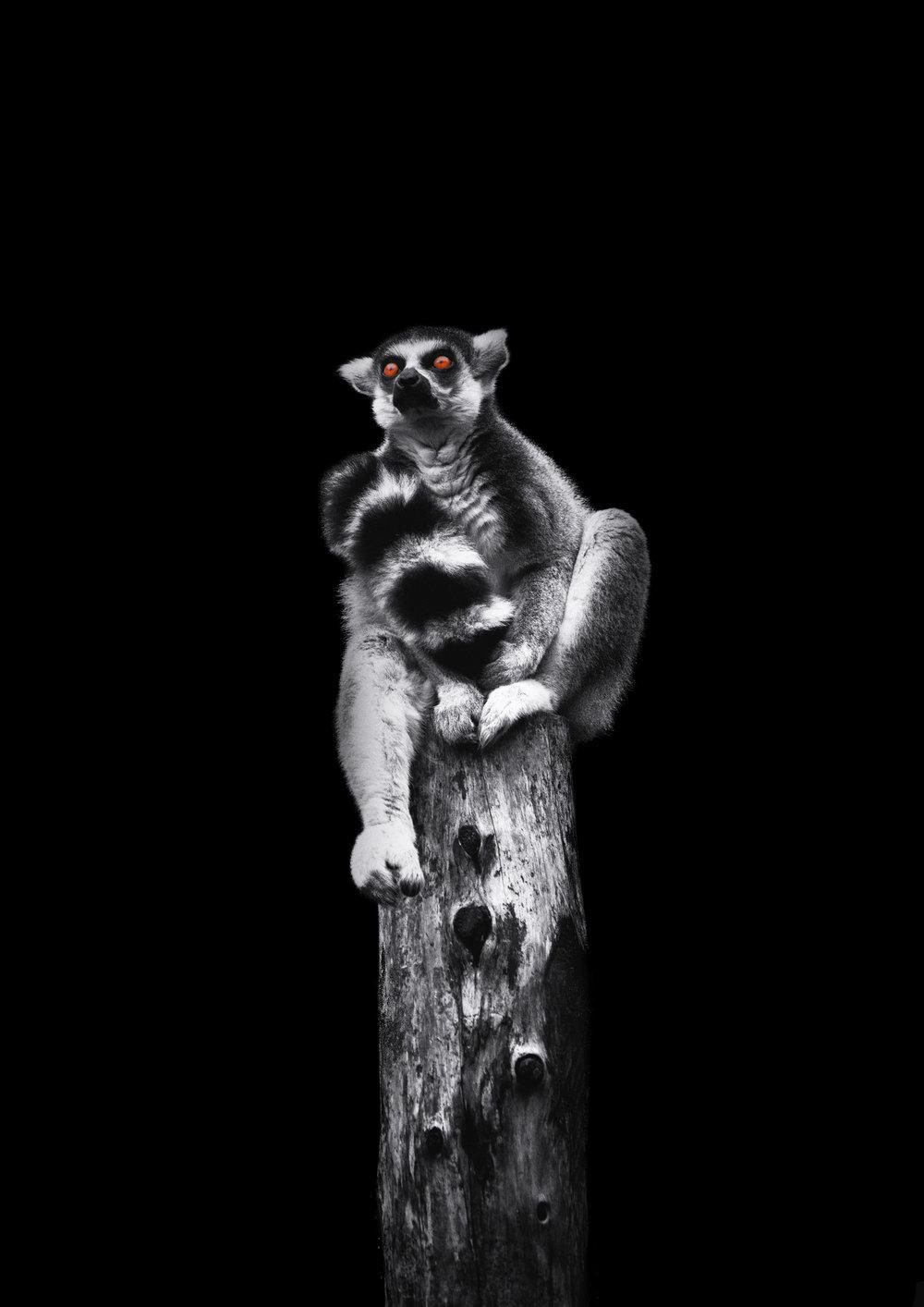Ring tailed Lemur 4 final.jpg
