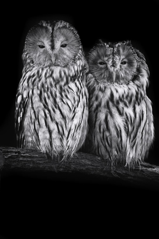 double owl portrait on branch.jpg