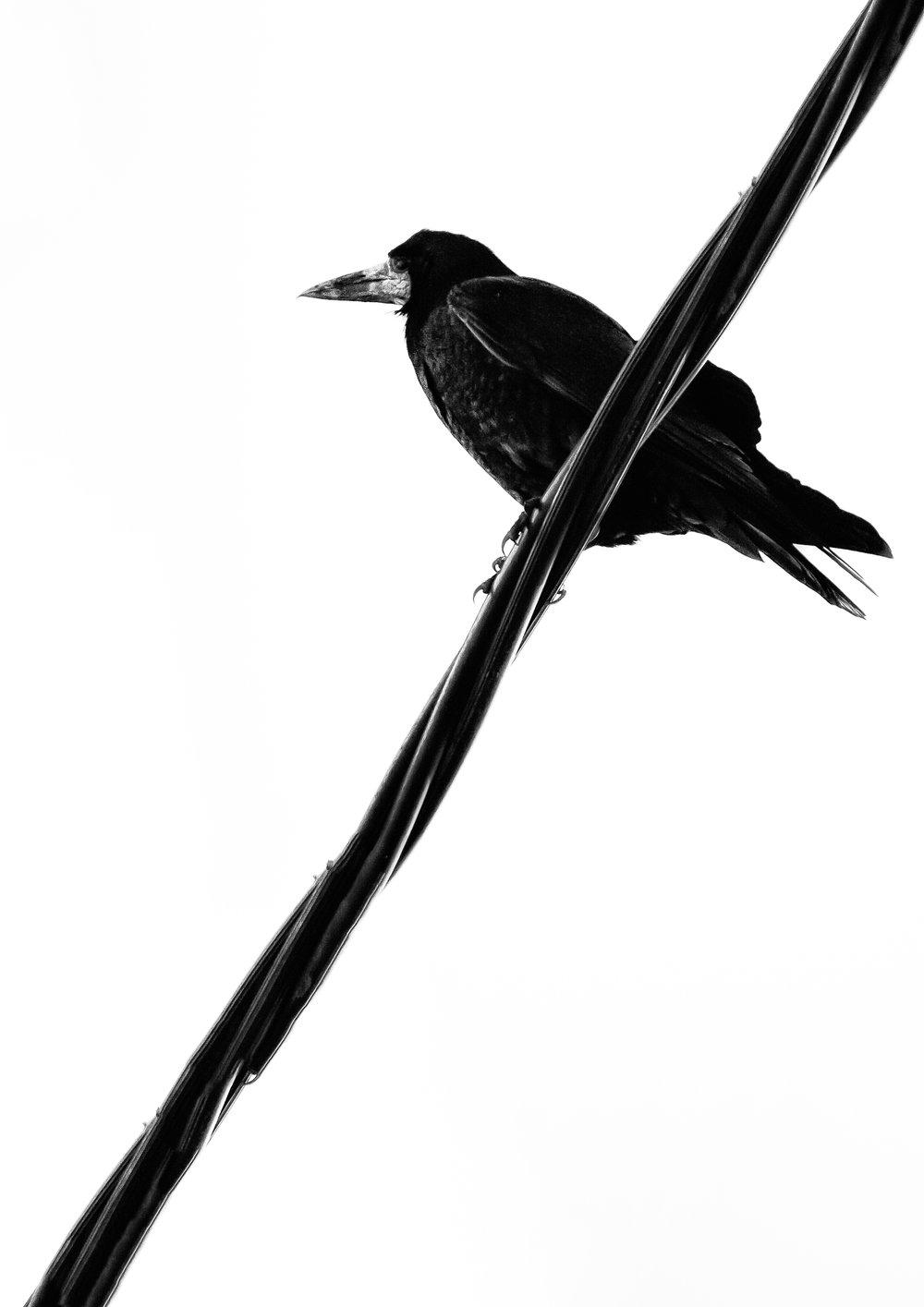 crow 4.jpg