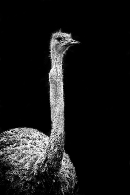 RPS image updates Ostrich 10.jpg