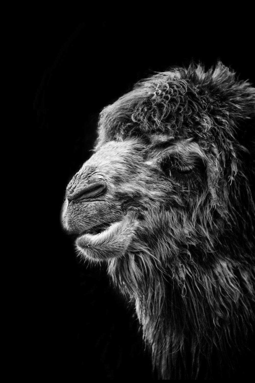 RPS image updates camel improved 28.jpg