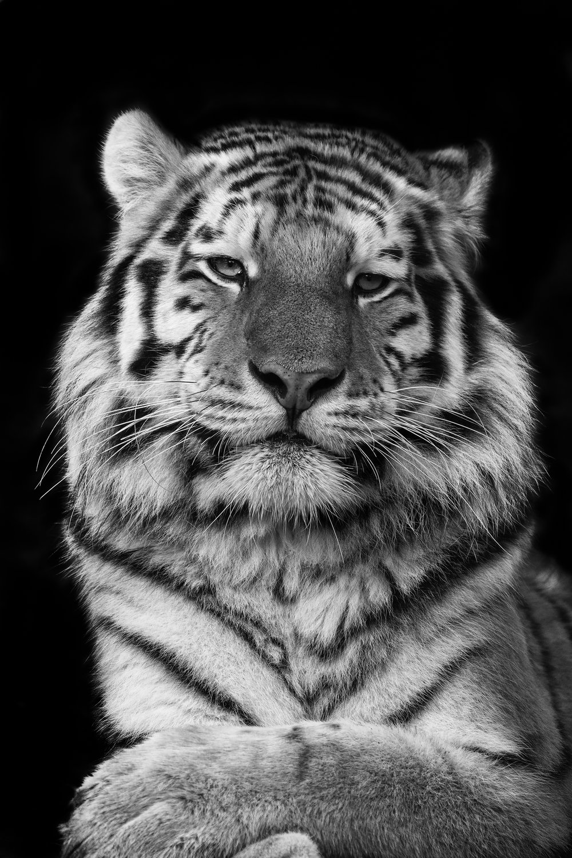 Tiger black and white 1 rps.jpg
