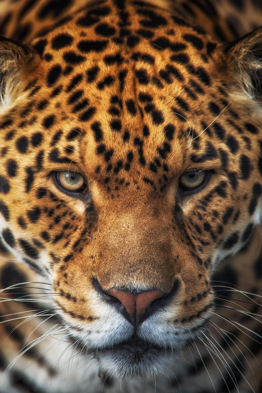 Jaguar central.jpg