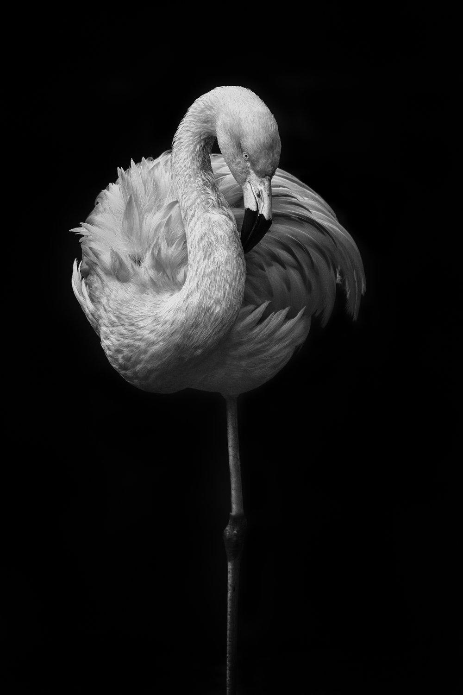 Flamingo 4 flickr.jpg
