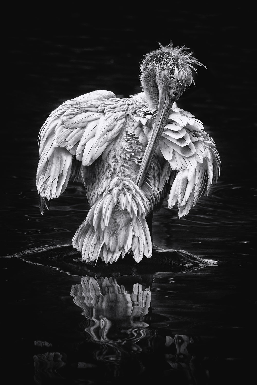 Pelican reflection 2.jpg