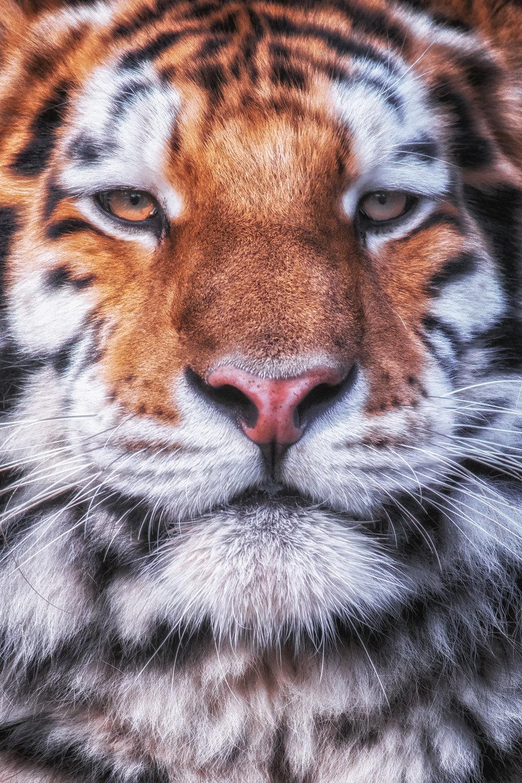 tiger central 2 flickr.jpg