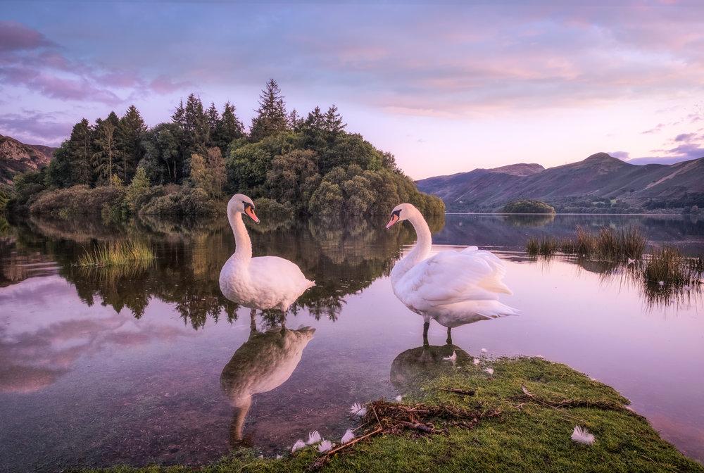 Derwent swans.jpg