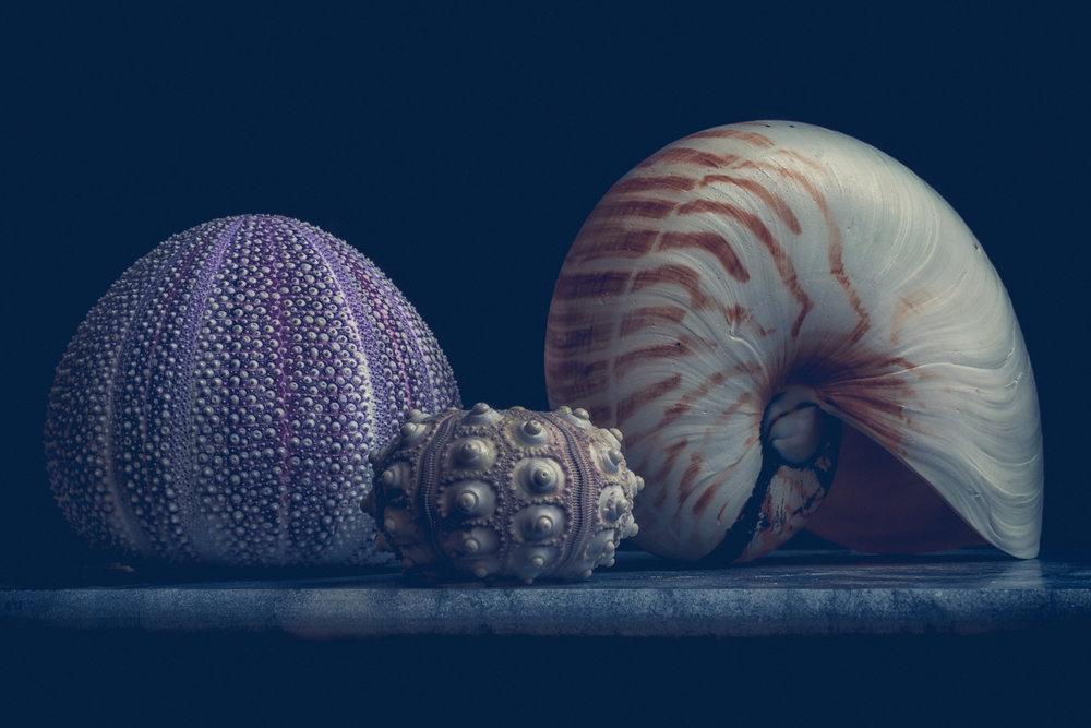 Anemone and nautilus 2 flickr.jpg