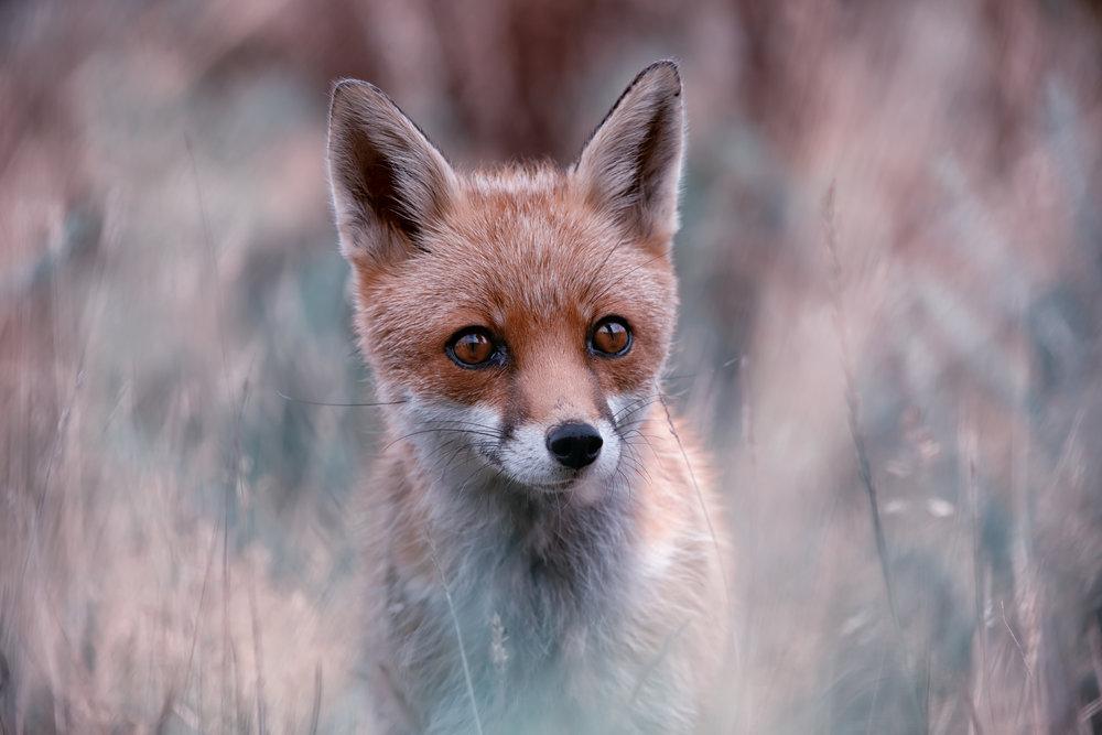 Fox soft background 1.jpg