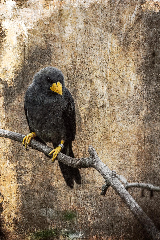 new yellow beak 2 flickr.jpg