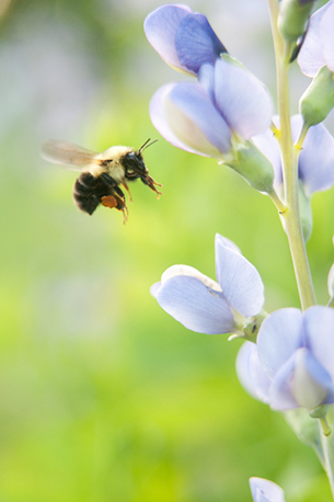 A bumble bee works its way up the blooms of Blue False Indigo   (Baptisia australis).   Photo: Justin Wheeler, the Xerces Society