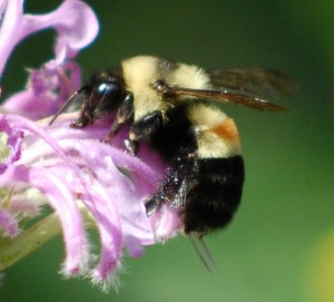 The rusty patched bumble bee was once common in the Eastern U.S.  Its habitat has decreased ~87% in recent years. xerces,org