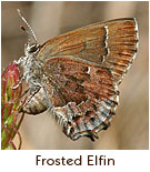 Rare in the 11 states which list it as endangered or threatened including Maryland. Xerces.org