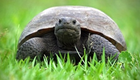 The eastern gopher tortoises have been reduced to small, isolated populations. They build elaborate burrows that provide habitat for 360+ other species.  www.fws.gov